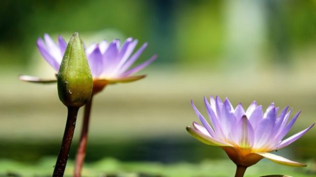 water-lily-1490078_1920-678x381